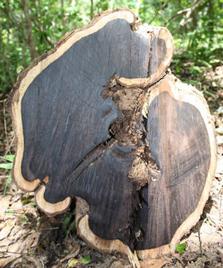 Freshly felled Mpingo (African Blackwood).
